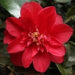Camellia japonica 'Letitia Schrader'