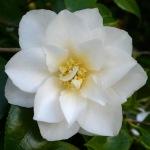 Camellia japonica 'Lillian Ricketts'