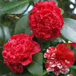 Camellia japonica 'Little Bit Red'