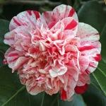 Camellia japonica 'Little Bit'