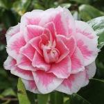 Camellia japonica 'Look Away'