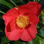 Camellia japonica 'Lugvan Red'