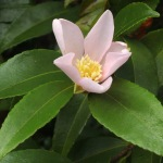 Camellia sasanqua 'Maiden's Blush'
