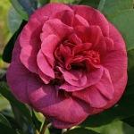 Camellia japonica 'Marchesa d'Ambra'
