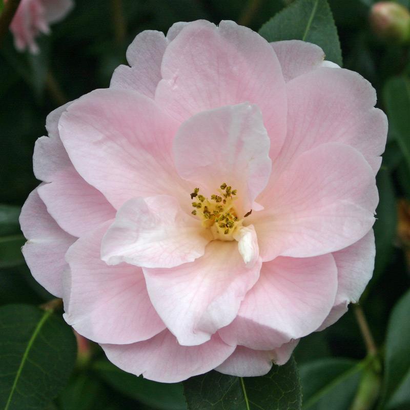 Camellia x williamsii 'Margaret Waterhouse'