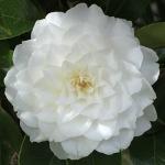 Camellia japonica 'Margarete Hertrich'