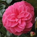 Camellia japonica 'Marianna Gaeta'