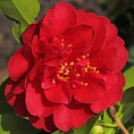 Camellia japonica 'Maroon and Gold'