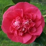 Camellia japonica 'Mary J. Wheeler'