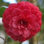 Camellia japonica 'Mathotiana Rubra'