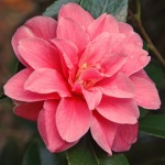 Camellia x williamsii 'Maud Messel'