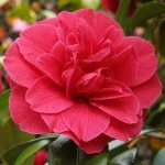 Camellia japonica 'Mercury'