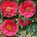 Camellia jaoponica 'Mermaid'