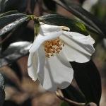 Camellia 'Michael'