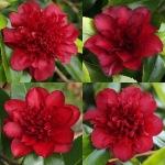 Camellia japonica 'Midnight Magic'