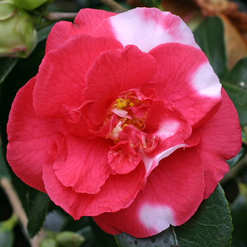 Camellia japonica 'Mikenjaku'