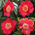 Camellia 'Momijigari' (Higo)