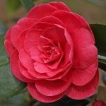 Camellia japonica 'Monarch'