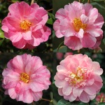 Camellia x williamsii 'Monica Dance'