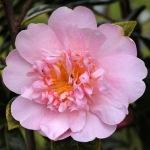 Camellia 'Monticello'