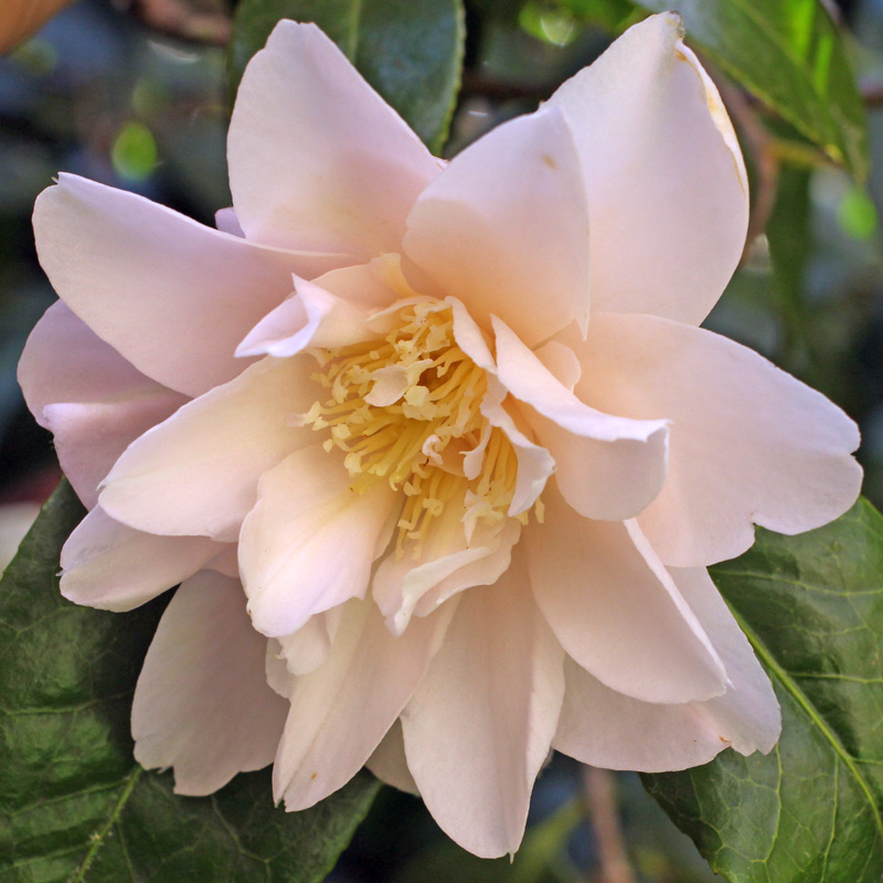 Camellia japonica 'Moonlight Sonata'