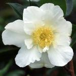Camellia sasanqua 'Moonlight'