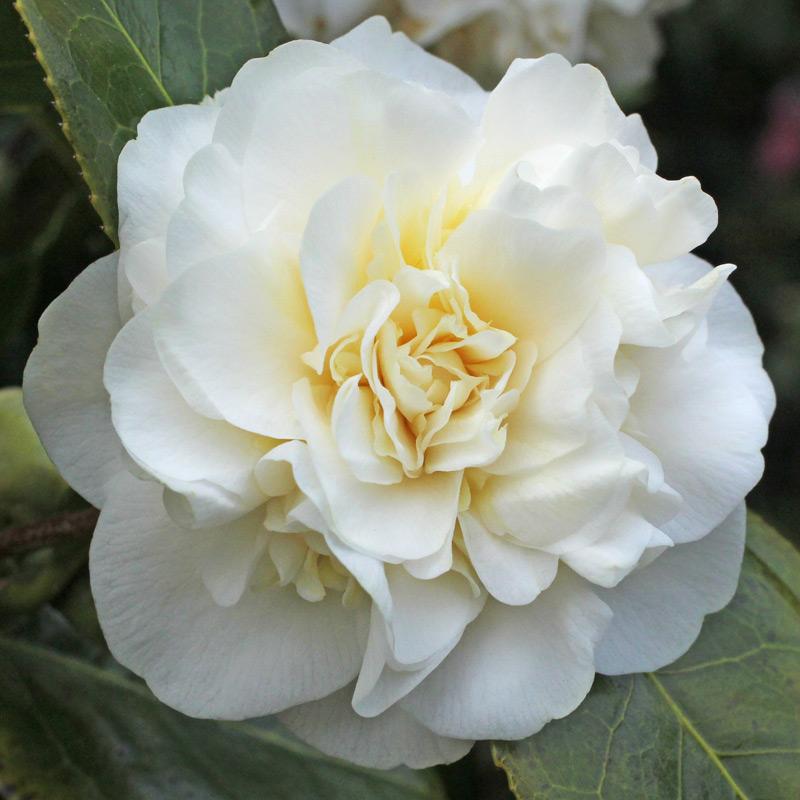 Camellia japonica 'Moshe Dayan'