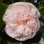 Camellia japonica 'Mrs D.W. Davis Descanso'