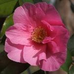 Camellia x williamsii 'Muskoka'