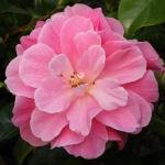 Camellia 'Mystique'
