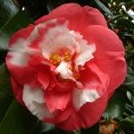 Camellia japonica 'Nagasaki'