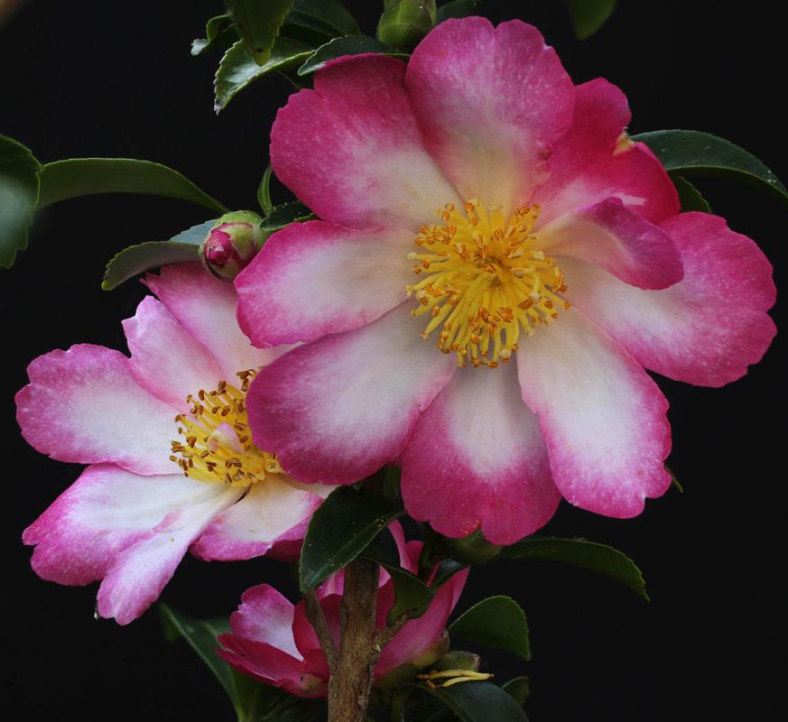 Camellia sasanqua 'Navajo'