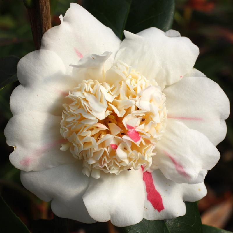 Camellia 'Nioi-fubuki' (Higo)
