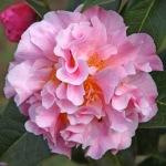 Camellia 'Nonie Haydon'