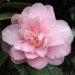 Camellia japonica 'Nuccio's Pink Lace'