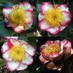 Camellia 'Ôkan' (Higo)