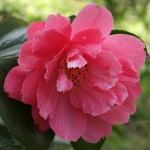 Camellia 'Olga Carlyon'