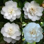 Camellia japonica 'Omega'