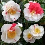 Camellia japonica 'Ozonran'