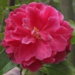 Camellia reticulata 'Pagoda'