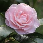 Camellia 'Paper Dolls'