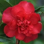 Camellia sasanqua 'Paradise Joan'