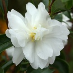 Camellia sasanqua 'Paradise Petite Little Liane'