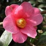 Camellia x williamsii 'Parkside'
