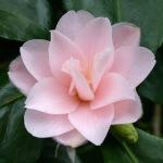 Camellia japonica 'Peachblossom'