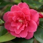 Camellia japonica 'Pearl's Pet'