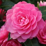 Camellia japonica 'Perfecta' (Jury)