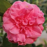 Camellia japonica 'Pink Champagne'