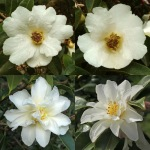Camellia pitardii