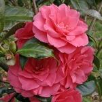 Camellia 'Polyanna'